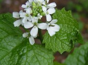 This file is licensed under the Creative Commons Attribution-Share Alike 3.0 Unported license. Source: http://en.wikipedia.org/wiki/File:Garlic_Mustard_close_800.jpg