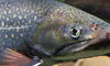Brook_trout_USFWS-Eric-Engbretson-feature-cropped
