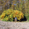 Fall Knotweed